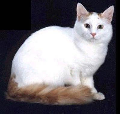 7e92264e7942d7 Turkish Van Cat